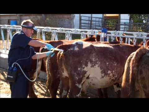 Bovine reproductive ultrasound